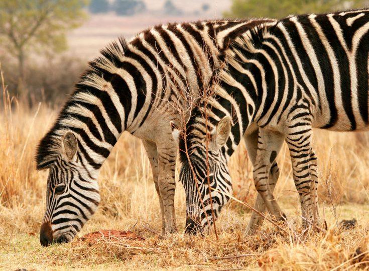 Чем питается зебра