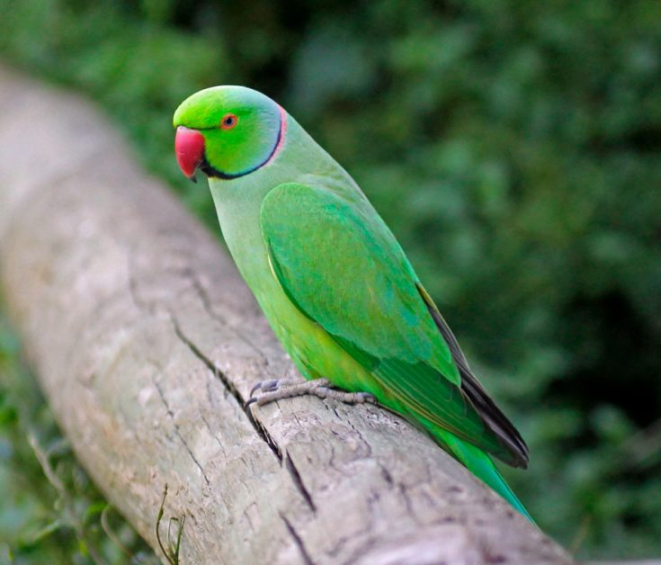 Ожереловый попугай