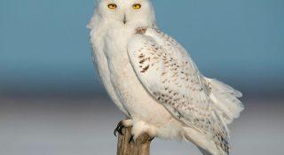 Полярная сова или белая